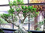 Bonsáis Ficus